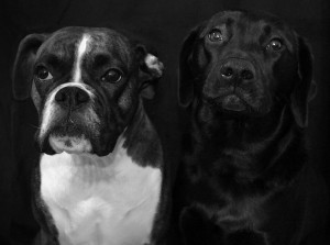 dogs-2137266_960_720