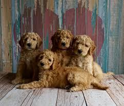 Pautas legales para la monta de perros